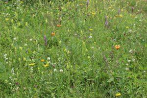 Pestrost rastlinskih vrst na suhem travniku v Čimernem