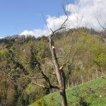 Visokodebelno sadno drevo po pomladitvenem obrezu