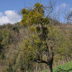 Visokodebelno sadno drevo pred pomladitvenim obrezom